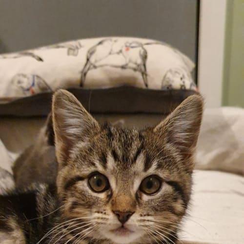 Chonk - Domestic Short Hair Cat