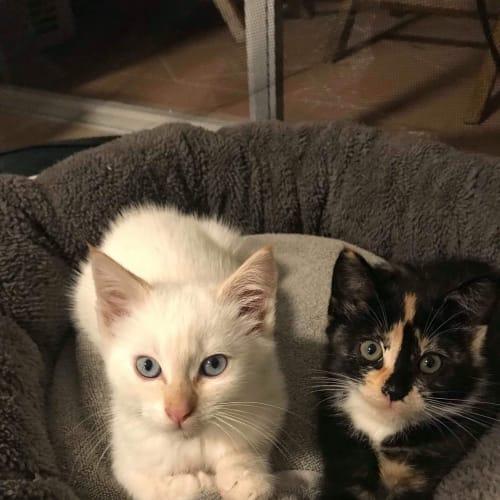 Archie & Shelly - Domestic Short Hair x Ragdoll Cat