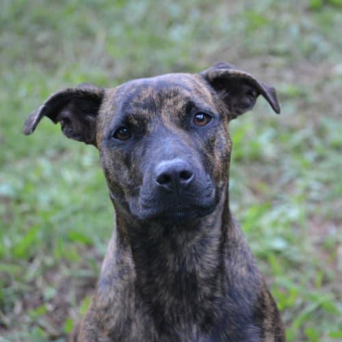 Vicki - American Staffordshire Bull Terrier Dog