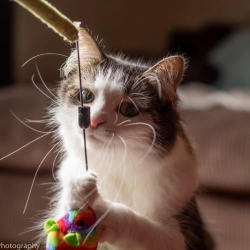 Virginia - Domestic Medium Hair Cat