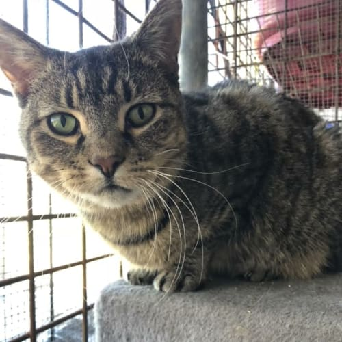 Lady Compass, perfect companion for retiree - Domestic Short Hair Cat