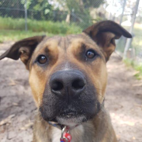 Damon D0971 - Staffordshire Bull Terrier Dog