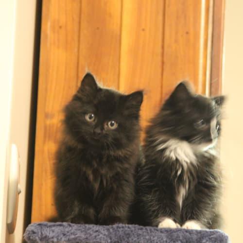 Sable - Domestic Long Hair Cat