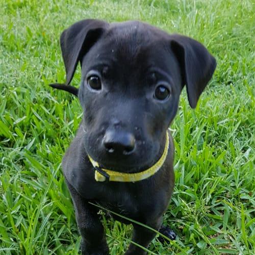 Muffin - Kelpie x Staffordshire Bull Terrier Dog