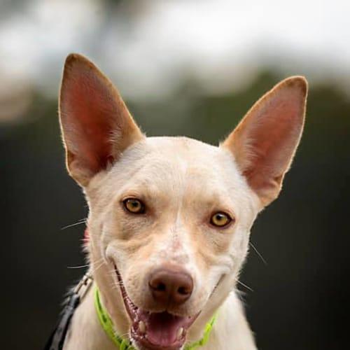 Bailey - Kelpie Dog