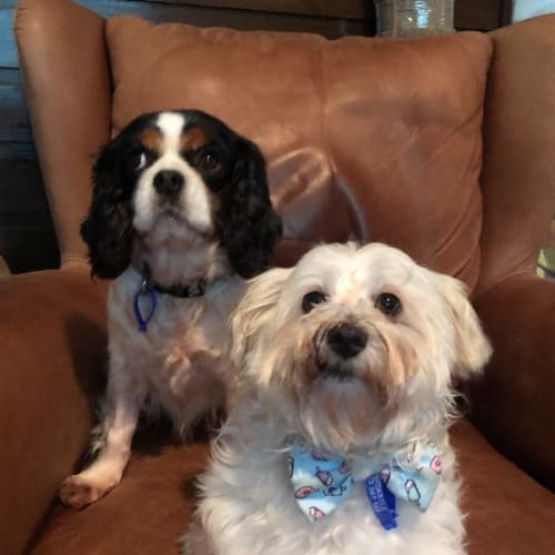 Ruby and Wilson ~ 7 year old Cavalier and Maltese  - Cavalier King Charles Spaniel x Maltese x West Highland White Terrier Dog