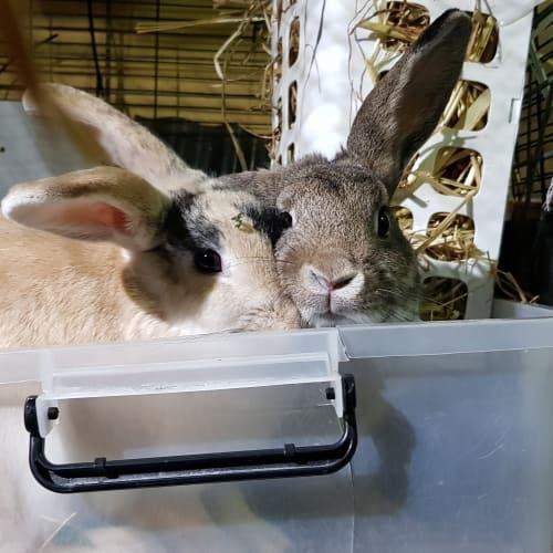 Jamie & Sammy - Dwarf lop x Domestic Rabbit