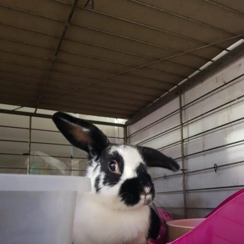 Rosie - Flemish Giant Rabbit