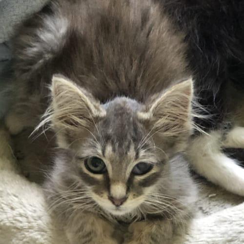 Flossy - Domestic Long Hair Cat