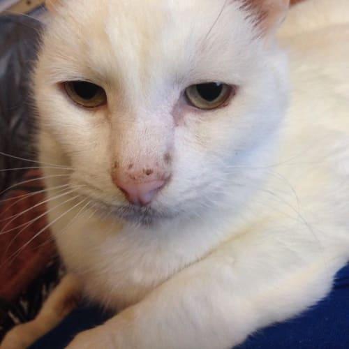 Wilbur - Located in Macleod - Domestic Short Hair Cat