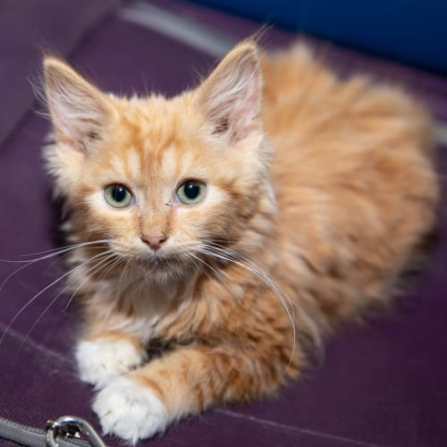 Midas - Domestic Medium Hair Cat