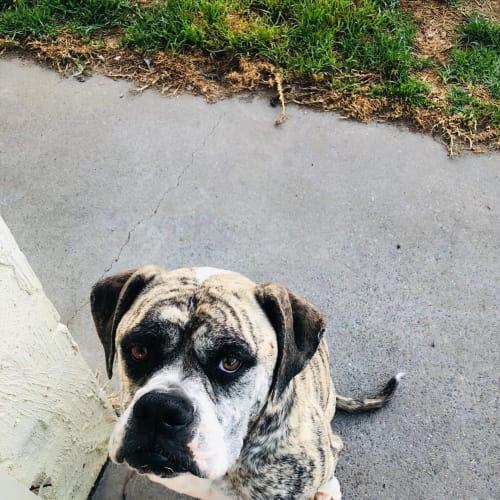Lily - American Bulldog
