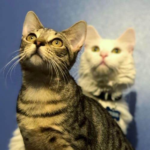 Myah *Sydney Animal Rescue Inc* - Domestic Short Hair Cat
