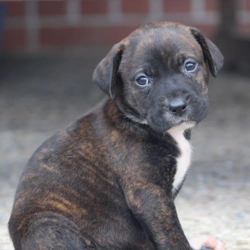 Olive - Labrador Dog