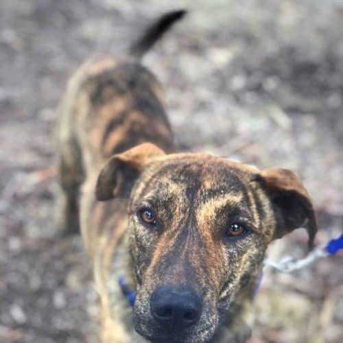 Gizmo - $150 Adoption Fee - Kelpie x Staffordshire Bull Terrier Dog