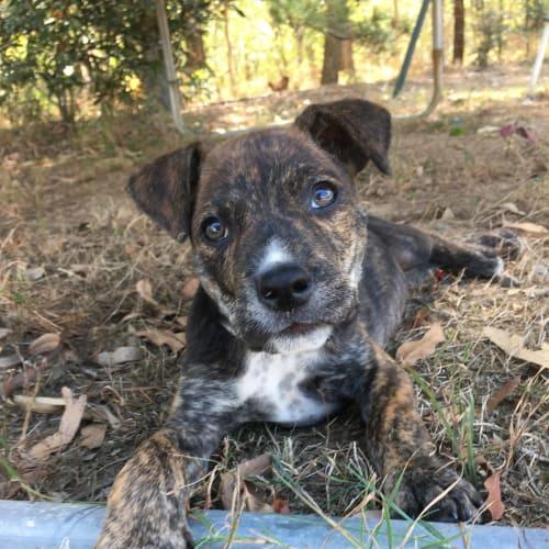 Khaki - Kelpie x Staffordshire Bull Terrier Dog