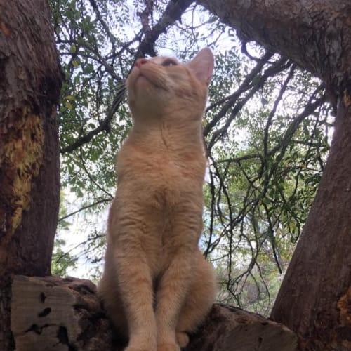 Morris - Domestic Medium Hair Cat