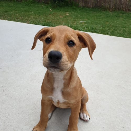 Butterscotch - Rottweiler x Staffordshire Bull Terrier Dog