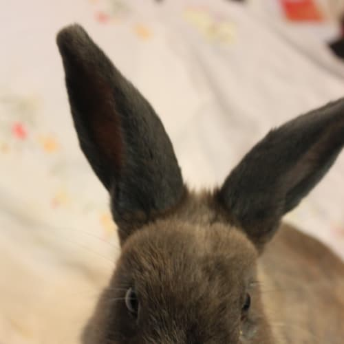 Sargo - Domestic Rabbit
