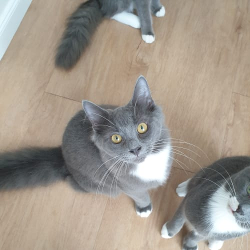 Cassius - Domestic Long Hair Cat
