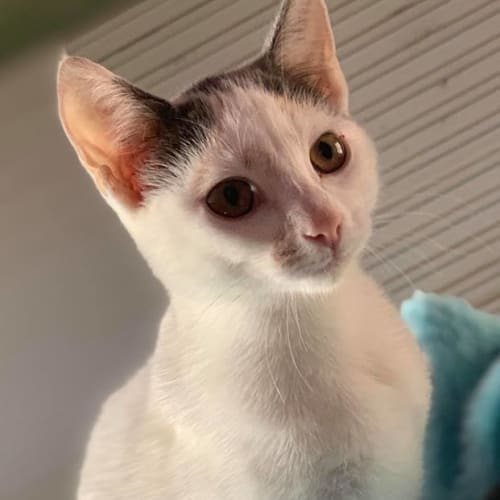 Hi my name is Hermione <3 - Domestic Short Hair Cat