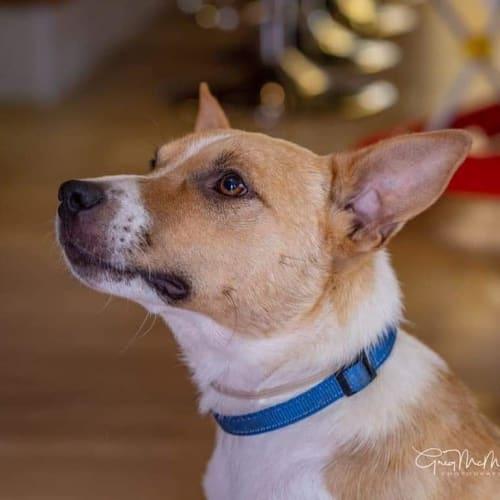 Cam - Australian Cattle Dog x Fox Terrier Dog