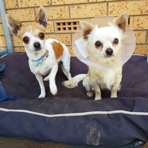 Patches and Matey - Chihuahua Dog