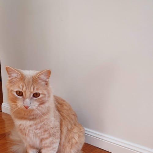 Thomas  - Domestic Medium Hair Cat