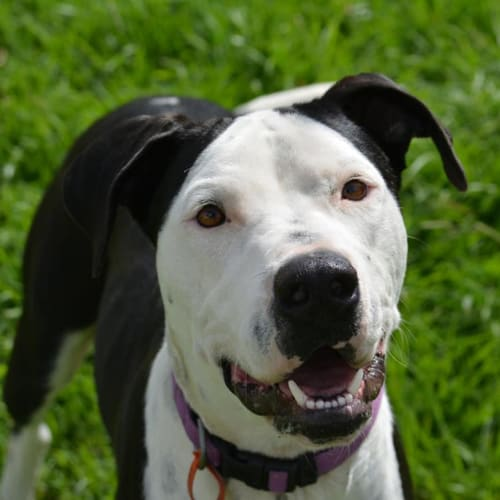 Abby - American Staffordshire Terrier x Border Collie Dog