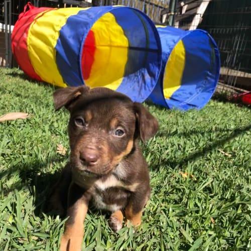 Rust - Border Collie x Kelpie Dog