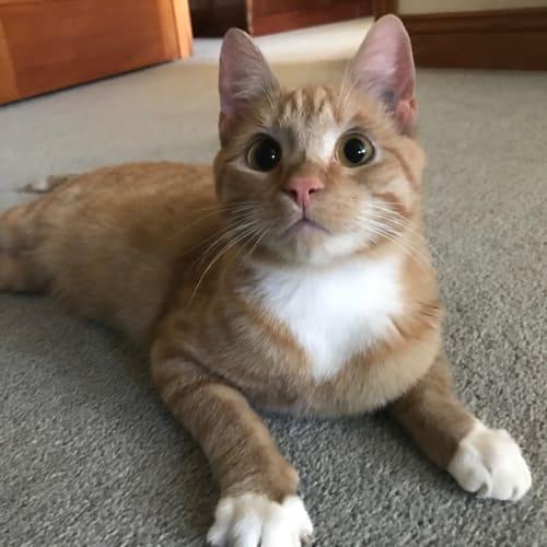 Hadara - Domestic Short Hair Cat