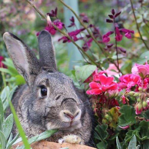 Milo - Adopt me! - Dwarf Rabbit