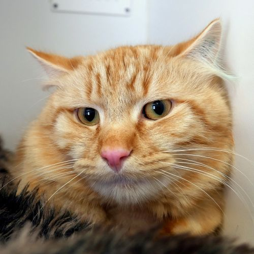 Gingie SUA005532 - Domestic Short Hair Cat