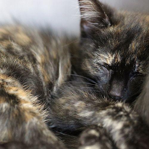 Margot - Domestic Medium Hair Cat