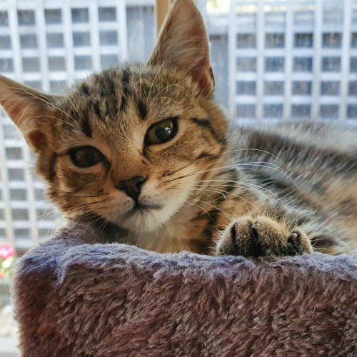 Samantha ^^Dandy Cat Rescue^^ - Domestic Short Hair Cat