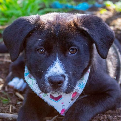 Aphrodite ~ Border Collie X Wolfhound Puppy - Border Collie x Wolfhound Dog