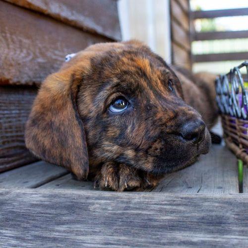 EOI Jethro ~ Mastiff X Puppy - Mastiff Dog