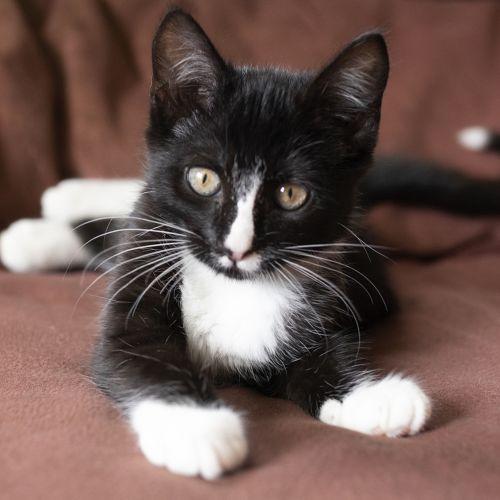 Peppa  - Domestic Short Hair Cat