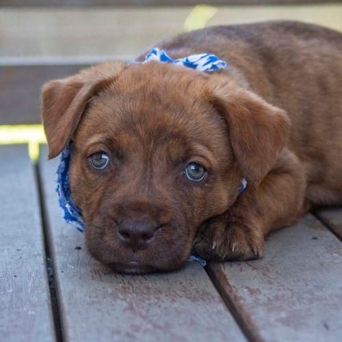 EOI Mork ~ Staffy X Puppy - Mastiff Dog