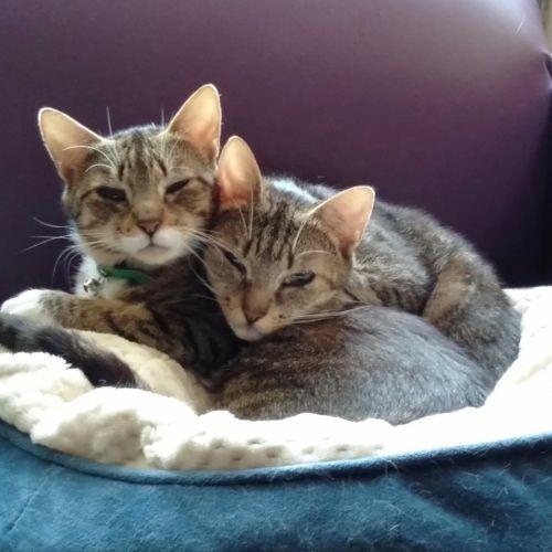 Dusk and Dawn - Domestic Short Hair Cat