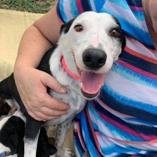 Poppy - Border Collie Dog