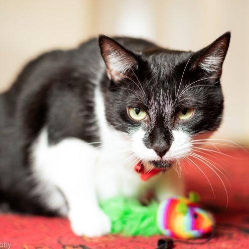Jaele - Special Needs Girl - Manx Cat