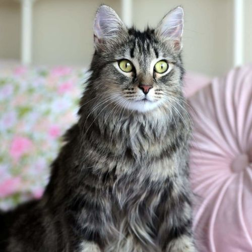 Stunning Ellie. - Domestic Long Hair Cat