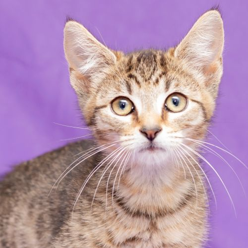 Twinkle **2nd Chance Cat Rescue** - Domestic Short Hair Cat