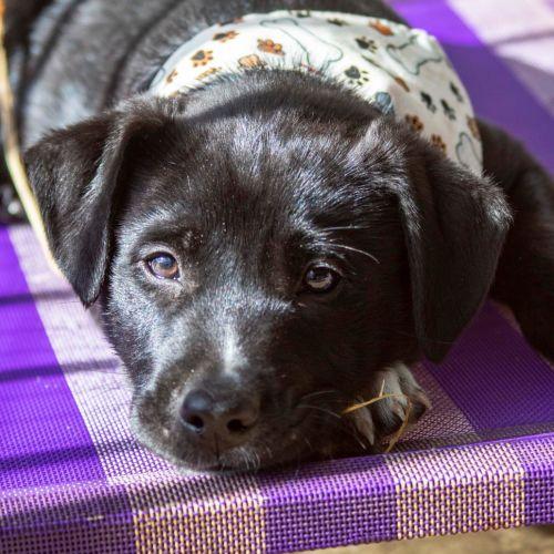 Aztec ~ Border Collie X Wolfhound Puppy - Border Collie x Wolfhound Dog