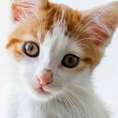 Jughead - Domestic Medium Hair Cat