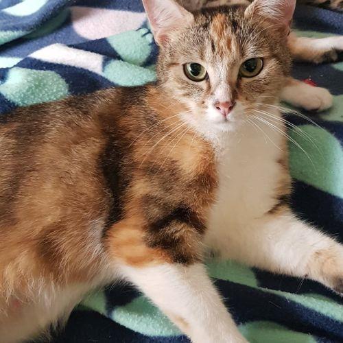Goldilocks - Domestic Short Hair Cat