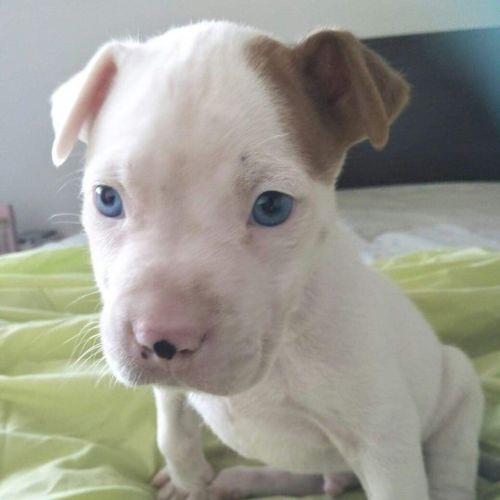 Anakin - Staffordshire Bull Terrier x Australian Bulldog