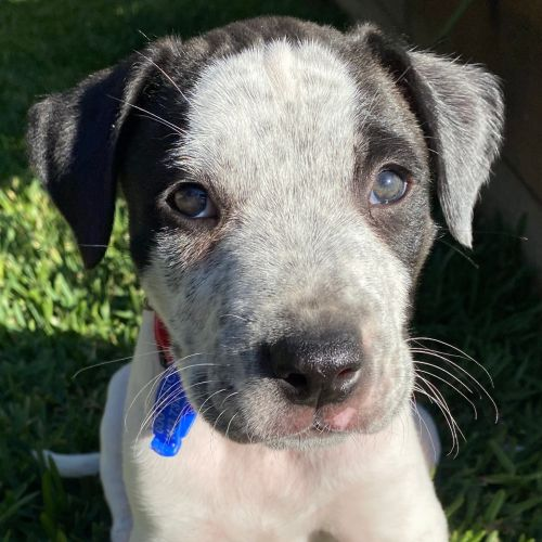 Buddy ~ Mixed Breed Puppy - Labrador x Cattle Dog