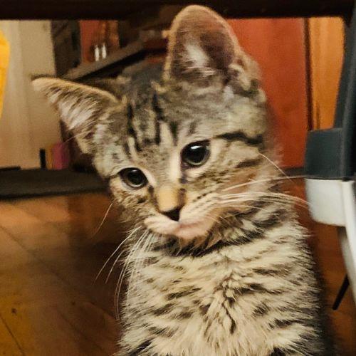 Joey - Domestic Short Hair Cat